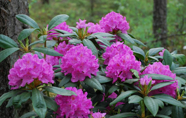 Rhododendron English Roseum2